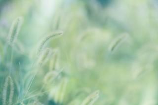 【高解像度】一面の狗尾草(エノコログサ)(3パターン)