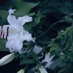 【高解像度】白百合を引き止めるような蔓(3パターン)