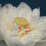 【高解像度】一輪の碧台蓮(3パターン)
