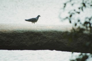 【高解像度】石橋を渡る鳩(2パターン)