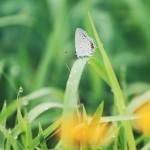 【高解像度】朝露とシジミチョウ(3パターン)