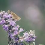 【高解像度】紫の花とセセリチョウ(3パターン)