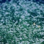 【高解像度】雪のような白い花畑と蝶(3パターン)