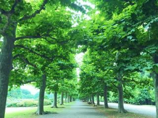 【高解像度】プラタナスの並木