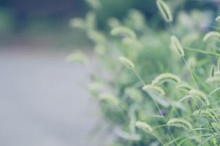 【高解像度】道端の狗尾草(エノコログサ)(3パターン)