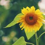 【高解像度】ハート型の向日葵(ヒマワリ)(3パターン)
