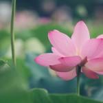 【高解像度】ピンク色の蓮が咲く穏やかな風景(3パターン)