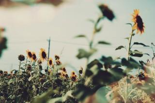 【高解像度】向日葵と電線がある風景(3パターン)