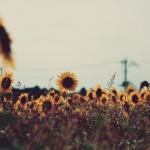 【高解像度】ひまわり畑がある風景(3パターン)