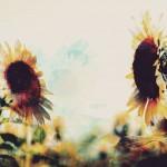 【高解像度】二輪の向日葵(ひまわり)(3パターン)