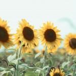 【高解像度】横並びの向日葵(ヒマワリ)(3パターン)
