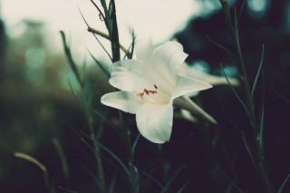 【高解像度】しっとりと咲くタカサゴユリ(3パターン)