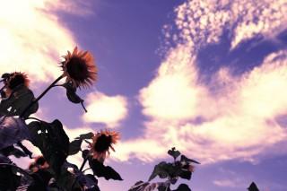 【高解像度】向日葵と夏空(3パターン)