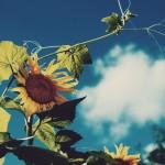 【高解像度】空に伸びる向日葵と蔓(3パターン)