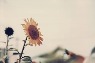 【高解像度】夏の終わりの寂しげな向日葵(ヒマワリ)(3パターン)