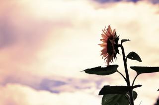 【高解像度】空に焦がれる向日葵(ヒマワリ)(3パターン)