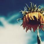 【高解像度】うつむく向日葵(ヒマワリ)(3パターン)