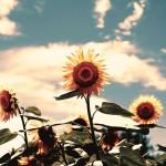 【高解像度】向日葵と空(3パターン)