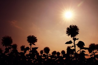 【高解像度】太陽と向日葵のシルエット(2パターン)