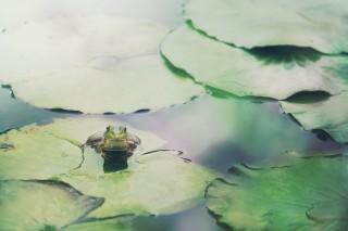 【高解像度】葉の上の蛙(カエル)(3パターン)