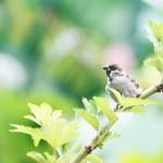 【高解像度】緑の中の雀(スズメ)(2パターン)