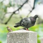 【高解像度】スズメとハト(2パターン)