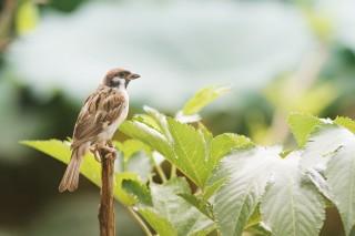 【高解像度】一本の枝に留まる雀(スズメ)(2パターン)