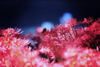 【高解像度】薄暗闇に咲く彼岸花(3パターン)