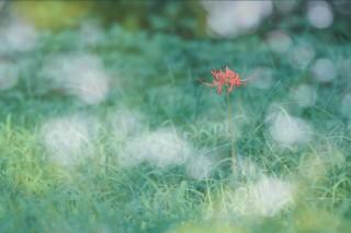 【高解像度】木漏れ日と一輪の彼岸花(3パターン)
