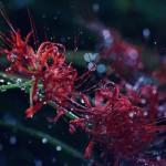 【高解像度】雨に打たれる彼岸花(3パターン)