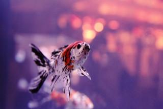 【高解像度】光を見上げる金魚(3パターン)