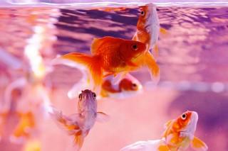 【高解像度】水槽の金魚(3パターン)