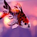 【高解像度】光の玉を抱えるような金魚(3パターン)