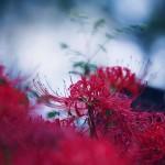 【高解像度】静かに咲く彼岸花(3パターン)
