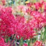 【高解像度】鮮やかな彼岸花(3パターン)