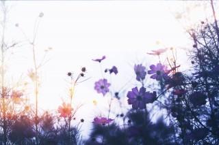 【高解像度】光の中のコスモス(3パターン)