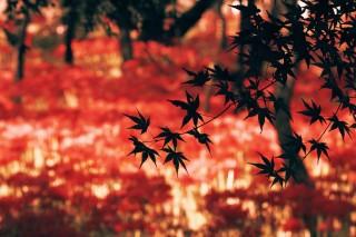【高解像度】紅葉と彼岸花畑(3パターン)