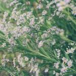 【高解像度】シオンの花畑(3パターン)