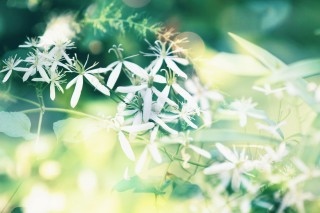 【高解像度】鮮やかな光と仙人草(センニンソウ)(3パターン)