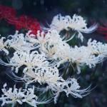 【高解像度】群生する白い彼岸花(3パターン)