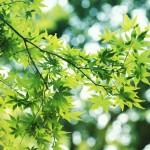 【高解像度】木漏れ日と青もみじ(3パターン)