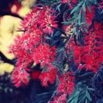 【高解像度】ブラシノキの赤い花(3パターン)