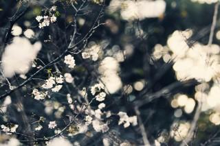 【高解像度】秋に咲く十月桜(ジュウガツザクラ)(3パターン)