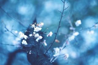 【高解像度】見上げる十月桜(ジュウガツザクラ)(3パターン)
