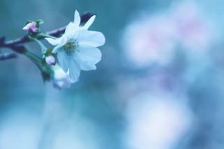 【高解像度】一輪の十月桜(ジュウガツザクラ)(3パターン)