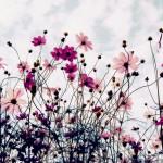 【高解像度】満開のコスモスとひつじ雲(3パターン)