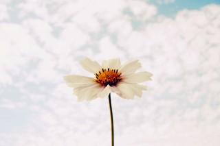 【高解像度】空を見上げるコスモス(3パターン)