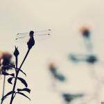 【高解像度】薔薇の蕾とトンボ(3パターン)