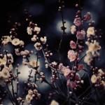 【高解像度】薄暗闇に咲く紅白梅(3パターン)