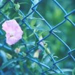 【高解像度】フェンスに伸びる昼顔(ヒルガオ)(3パターン)